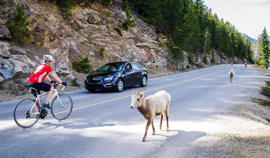 Biking on the Lake Minnewanka Road beside bighorn sheep