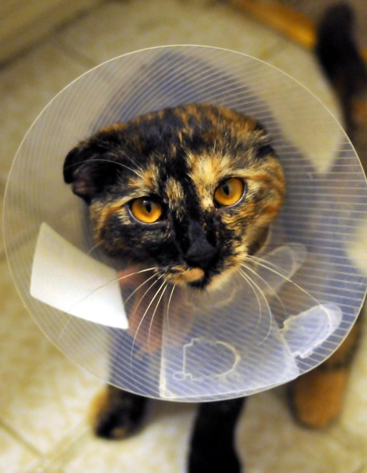 esteriliza tu gato