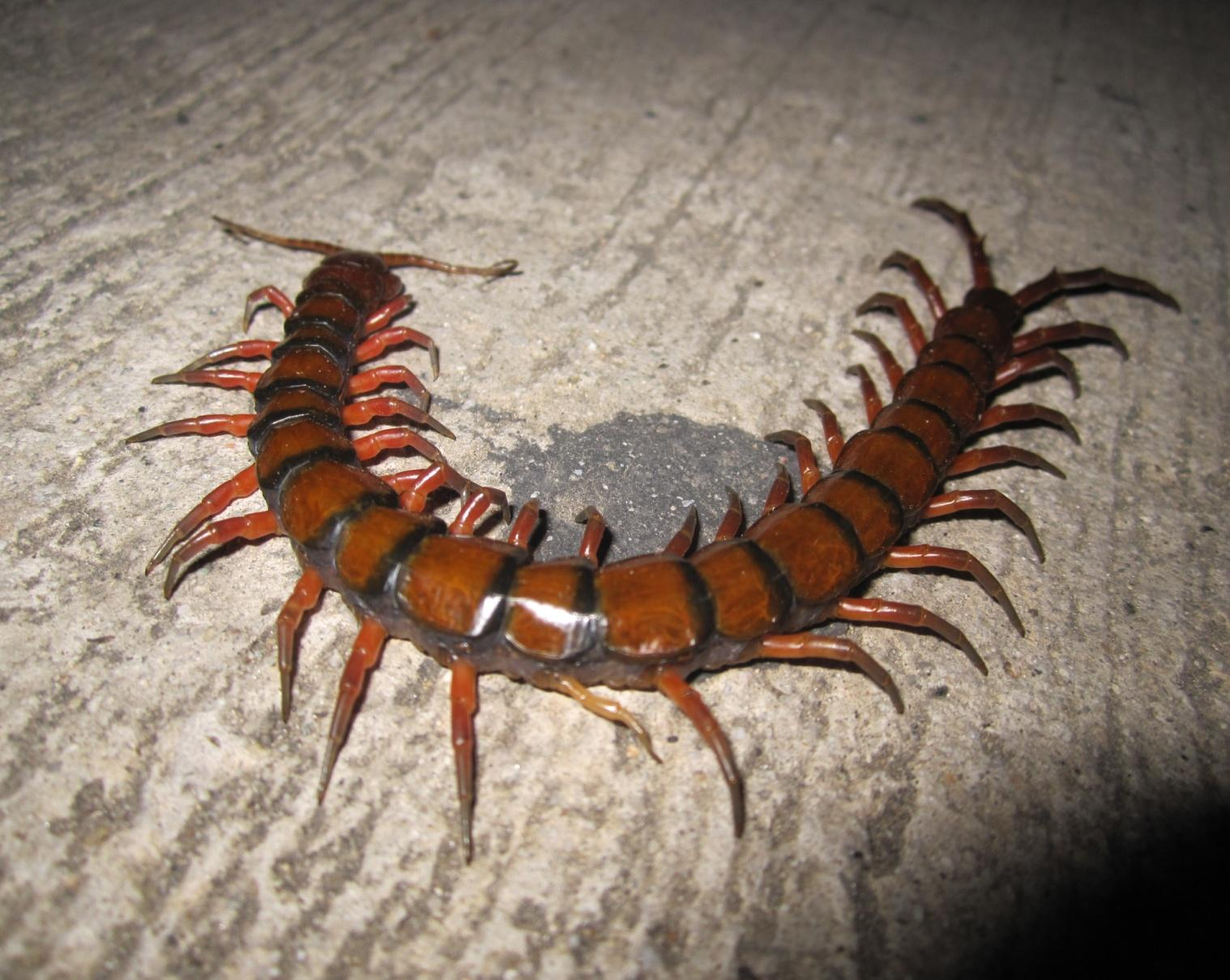 https://upload.wikimedia.org/wikipedia/commons/8/8b/Scolopendra_gigantea.jpg