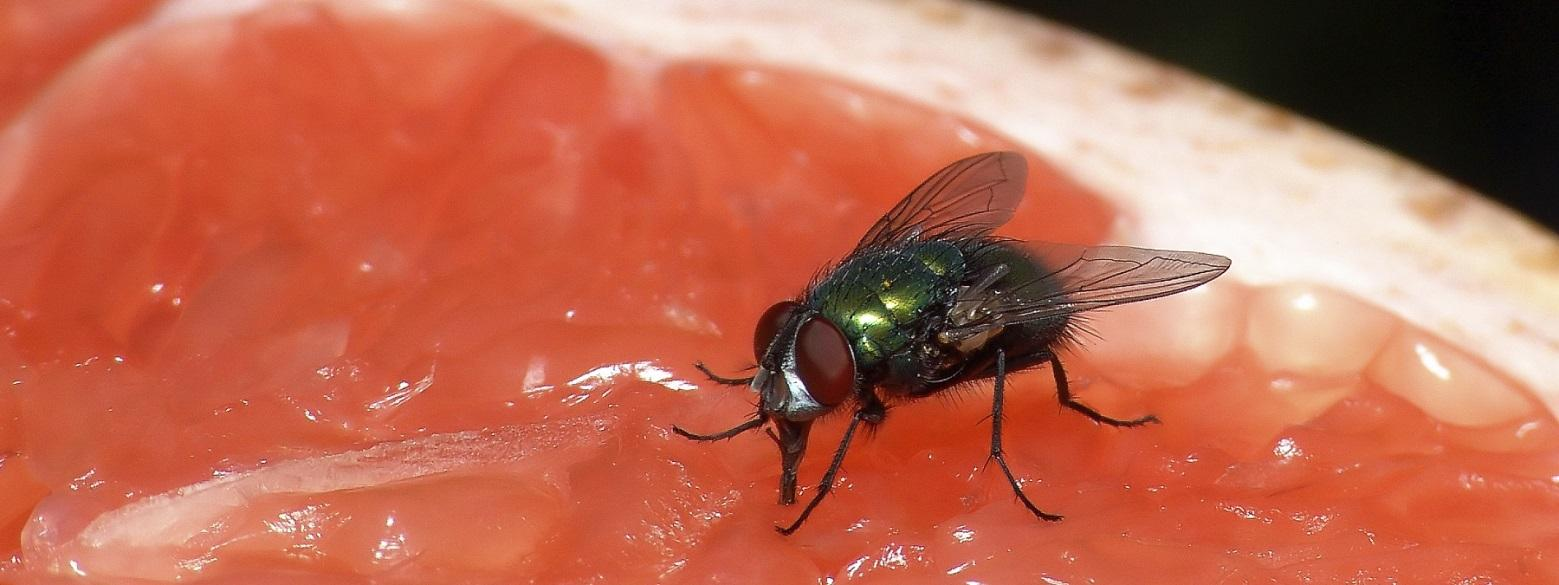 http://www.pestcontrolsingapore.net/wp-content/uploads/2015/02/Flies.jpg