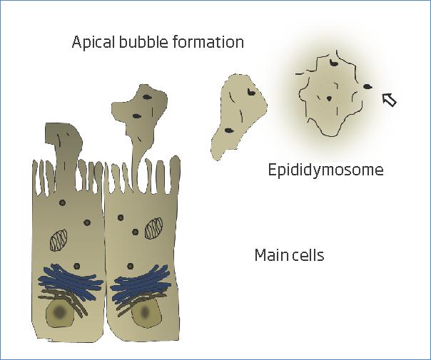 Scheme of apocrine secretion in the main cells of the epididymal tubule.