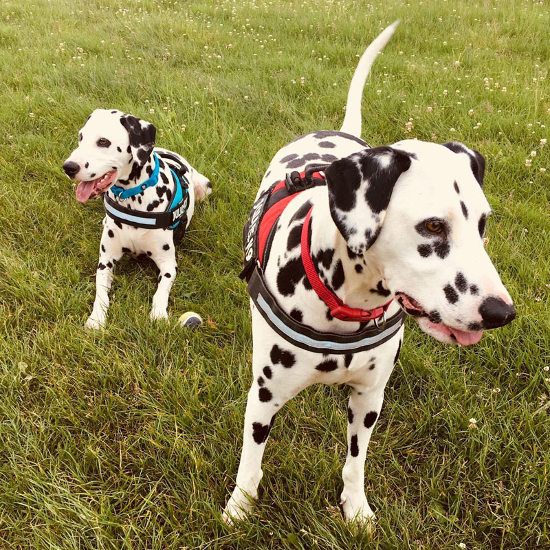 Two BorrowMyDoggy Dalmatians