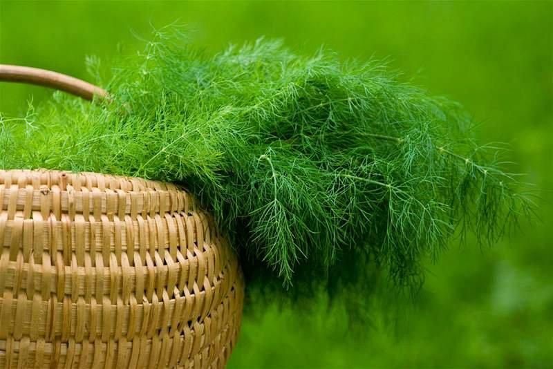 Почему не растет укроп - причины плохой урожайности