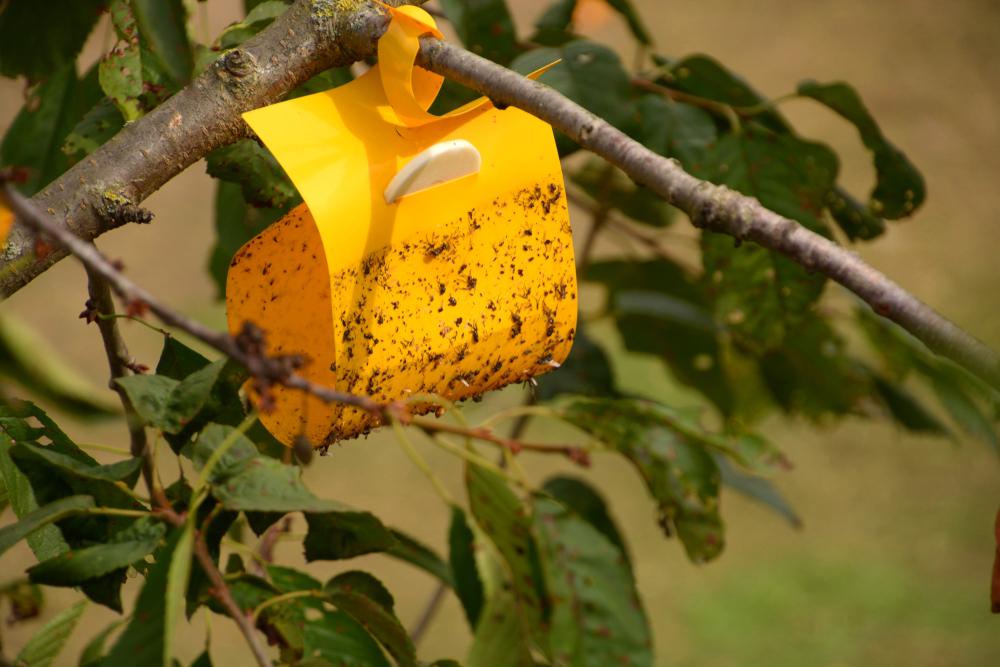 Armadilhas ajudam a medir o nível populacional de pragas no pomar. (Fonte: Shutterstock/Martina Simonazzi/Reprodução)