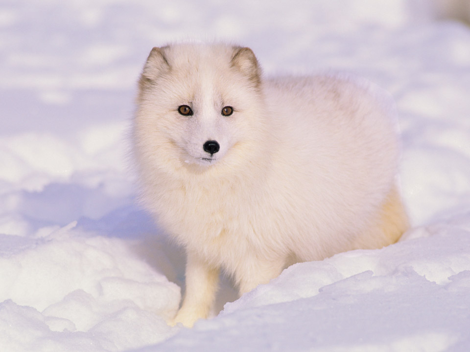 Endangered Animals and Adaptations of The Arctic Tundra