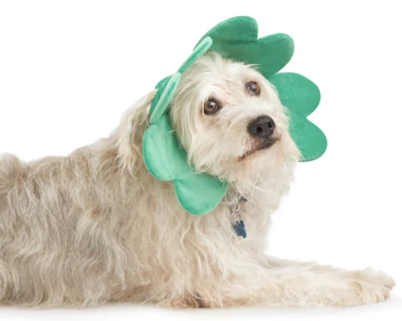 St. Patrick's Day dog wearing four leaf clover headband