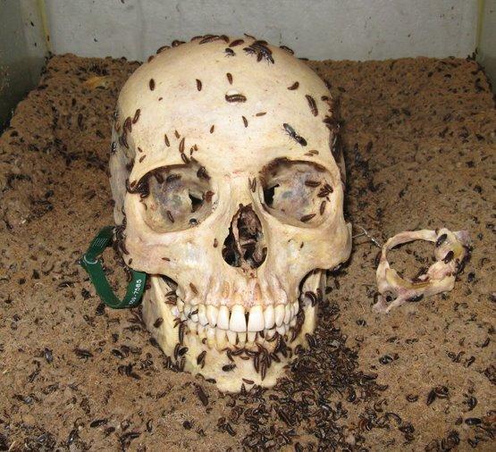 File:Human Skull being cleaning by Dermestid Beetles.jpg