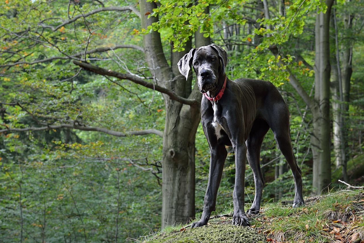 best dog breeds great dane