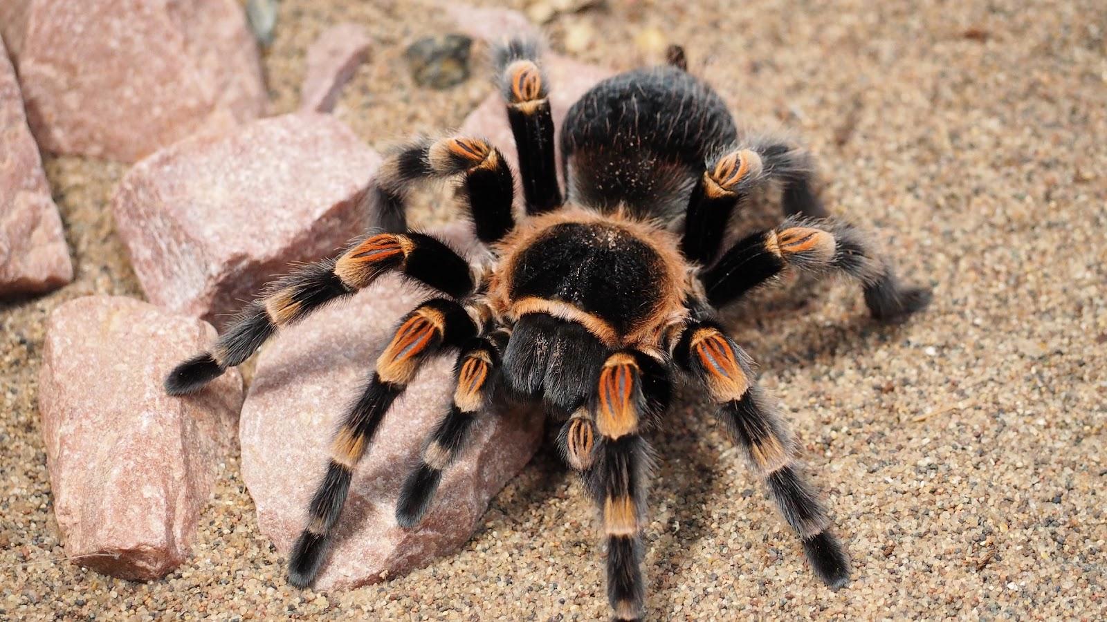 Fuzzy tarantula
