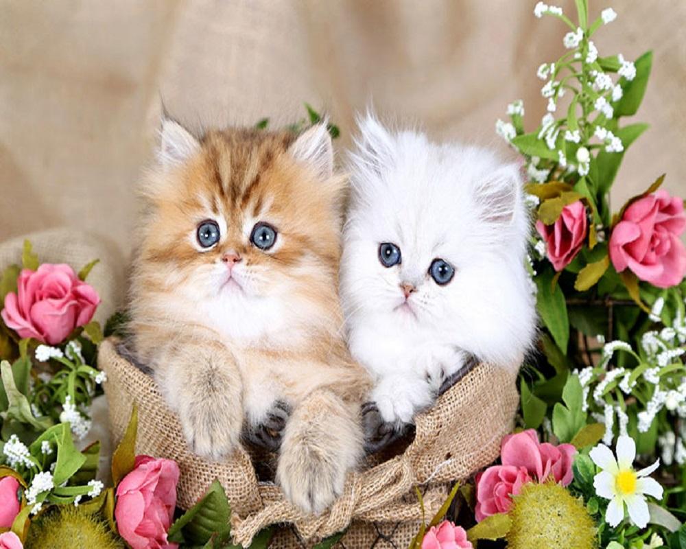 نژادهای مطرح گربه در ایران 3