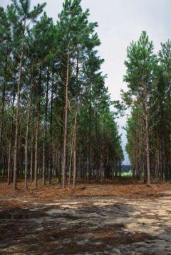 Slash Pine plantation