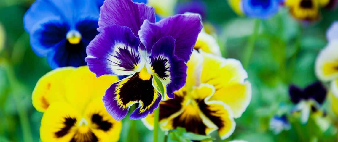 Pansy; Breathtaking Flowers That Start With P