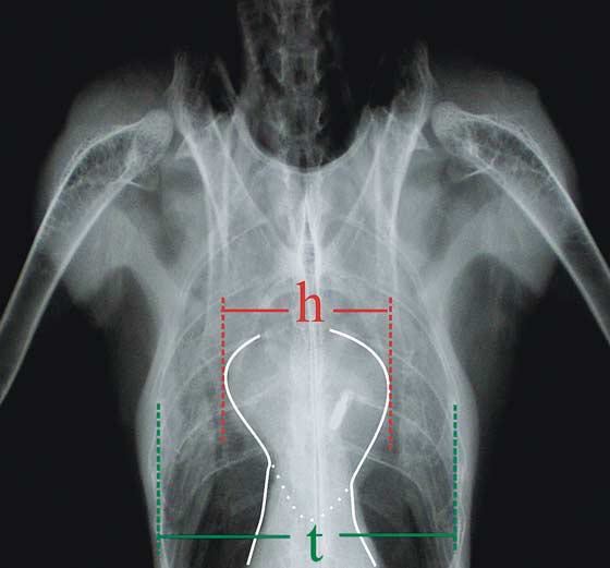 Schematic illustration of the distances to be measured for the evaluation of the avian heart on ventrodorsal radiographs