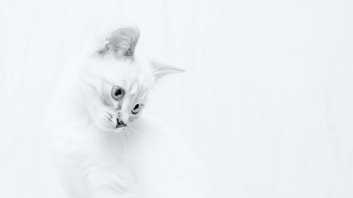 white cat on white backdrop