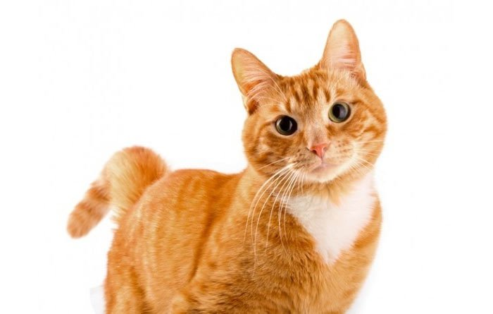 Image result for orangey cat