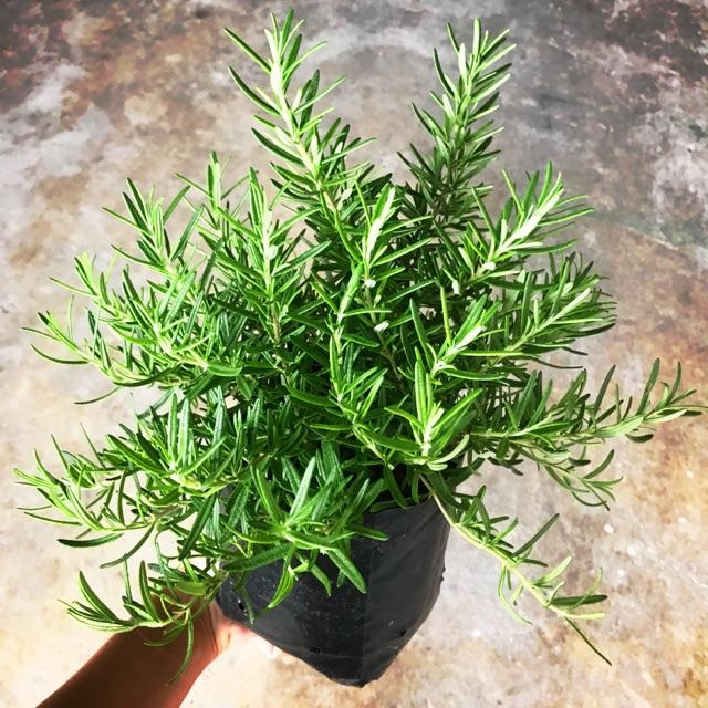 5. ต้นโรสแมรี่ (Rosemary)