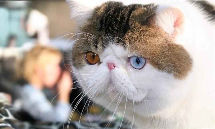 Гетерохромия у кошек. Экзот