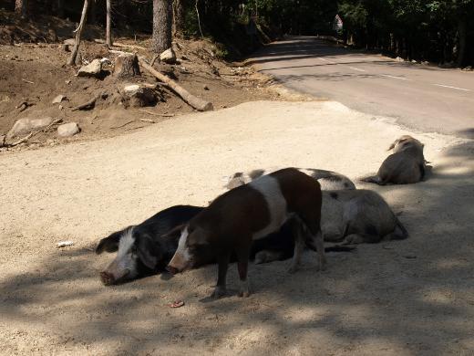 http://www.mw-xp.de/images/Korsika2011/schweiner.jpg