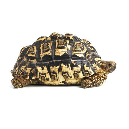 Image result for leopard tortoise