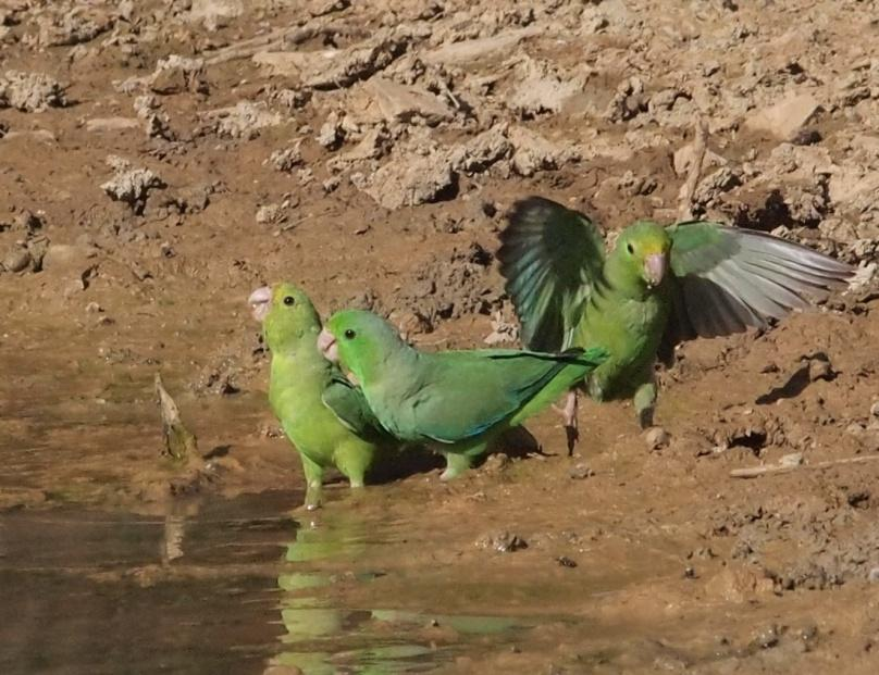 E:escritorioAves del Semiarido LarenseNo Passeriformes (24 familias)16. Psittacidae (2 especies)b4.Trio.jpg