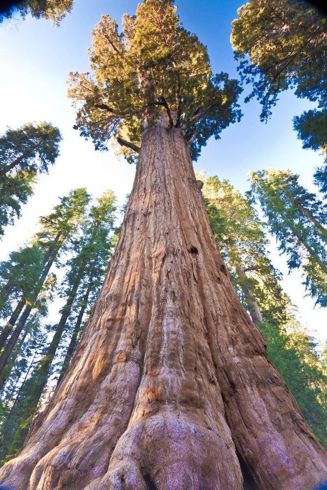 http://fratip.com/wp-content/uploads/2015/11/general-sherman-tree-branch-316.jpg