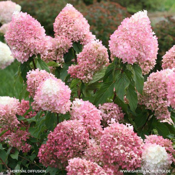 Dauerblühende Rispenhortensie 'Pinkachu®' - Hydrangea paniculata  'Pinkachu®' - Rispenhortensien | GARTEN SCHLÜTER