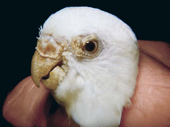 Scaly face mites cause a powdered look to the beak and a raised honeycomb mass, either on the cere, eyelids, beak, feet or other body locations