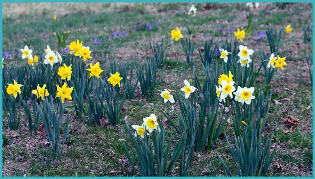Нарциссы, растущие в открытом грунте