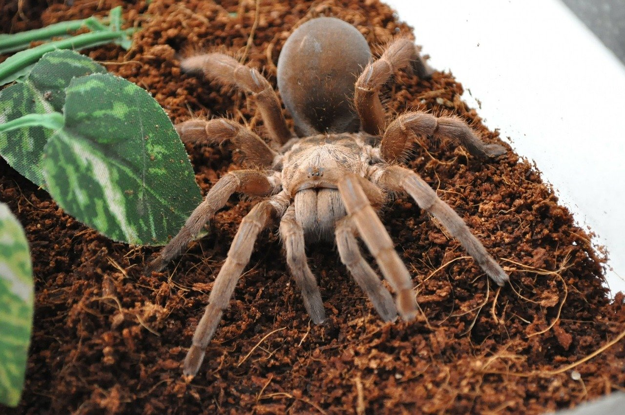 Tarantula near fake plant