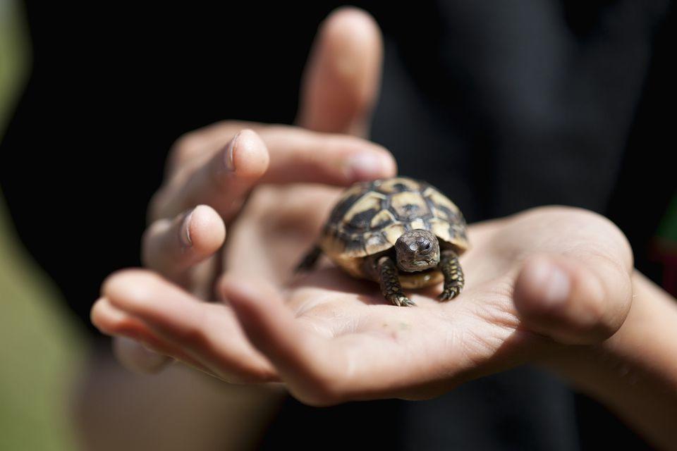 Resulta ng larawan para sa Hermann's Tortoises handled