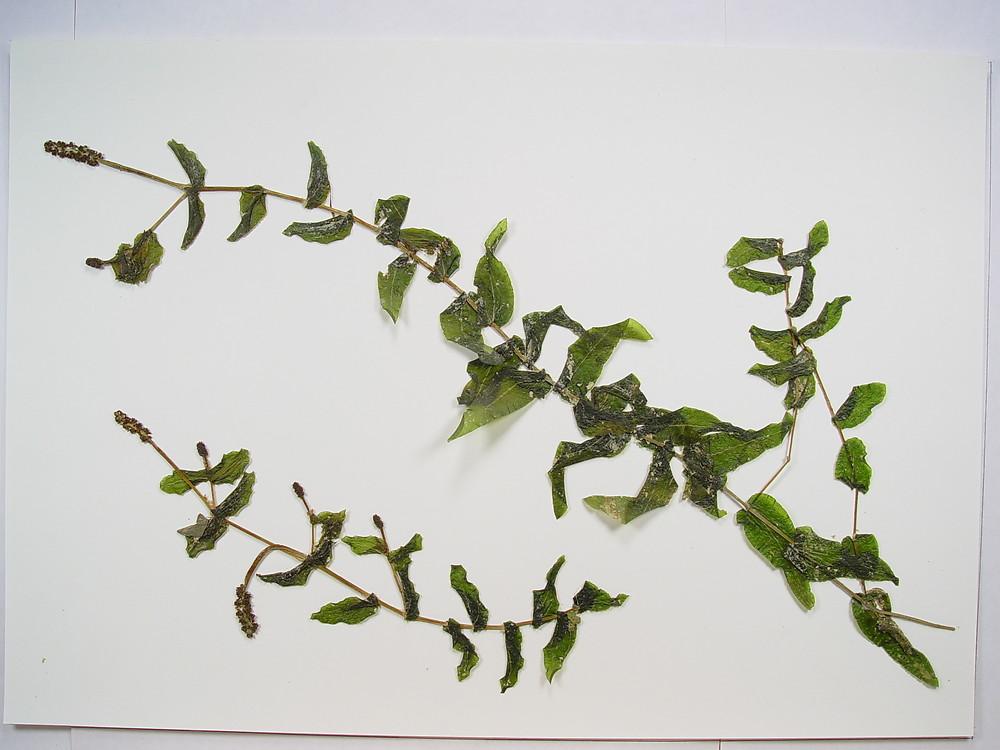 Clasping leaf pondweed