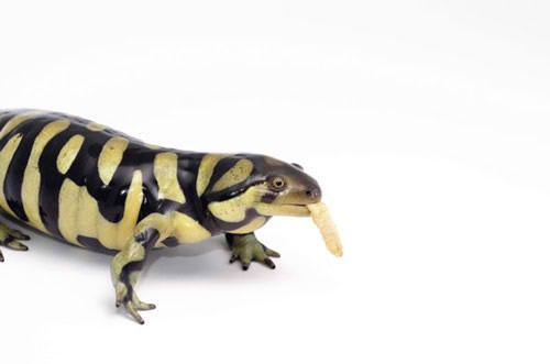 Resulta ng larawan para sa tiger salamanders feeding