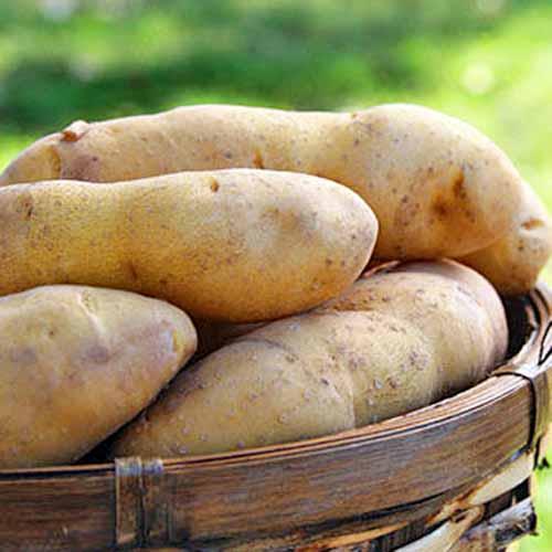Princess-Laratte-Potatoes.jpg