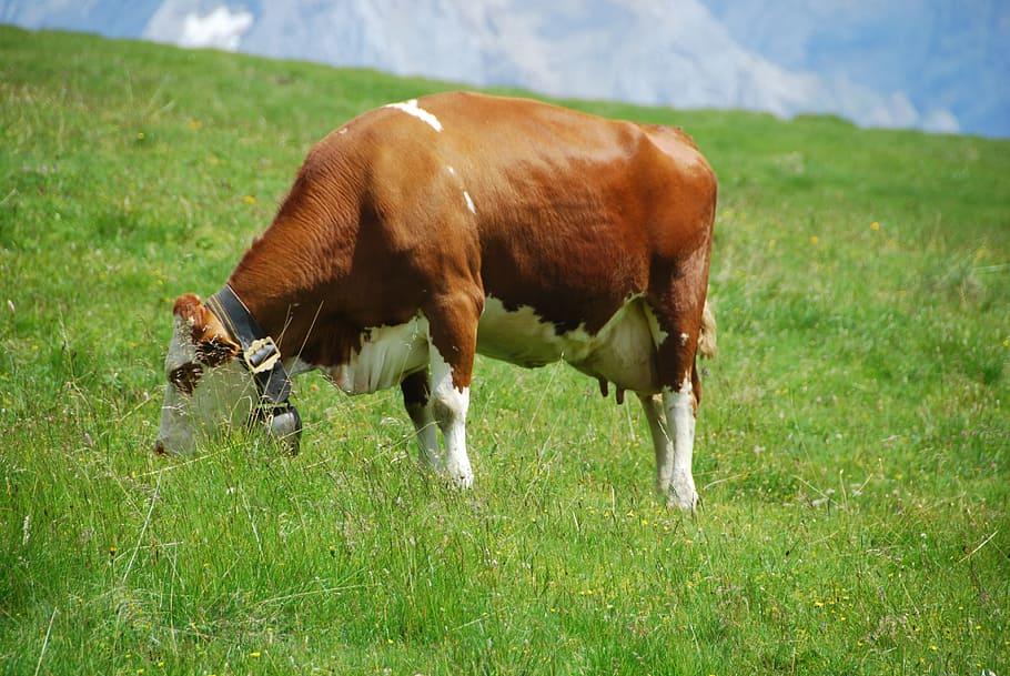 корова не встает стельная