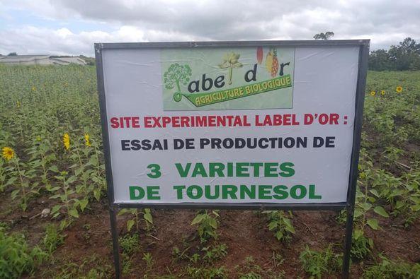 site expérimental sur 3 semences de tournesol biologique par label d'or au togo