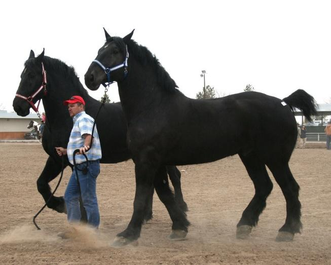 http://www.personal.psu.edu/wbs14/blogs/equine_breeds/19_Hand_Percheron_Team_01_by_escapist1901.jpg