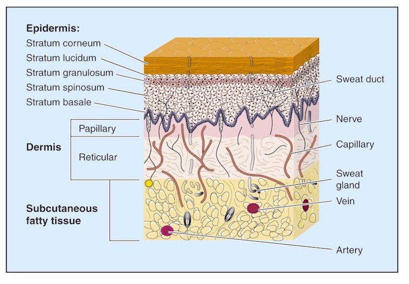 skin layers | cosmotruth, Human Body