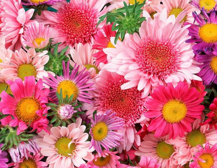 Hoa cúc có từ lâu đời với màu sắc đa dạng, đẹp mắt