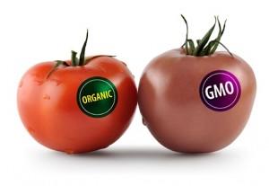 GMO_Tomato-300x207.jpg