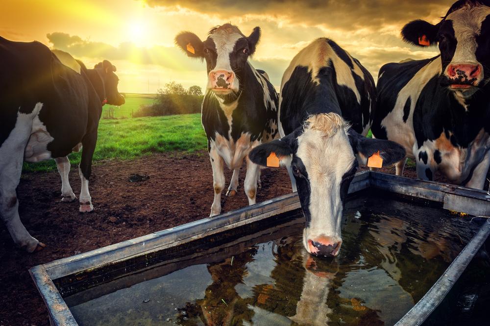 Fase de crescimento dos bezerros consome mais água. (Fonte: Shutterstock/symbiot/Reprodução)