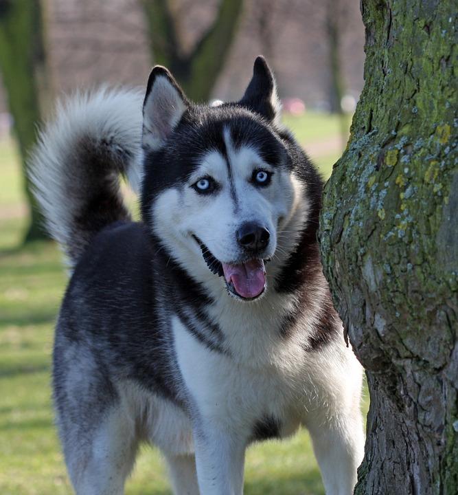 Free photo Blue Eyes Husky Dog Siberian Husky Blue Eyed - Max Pixel