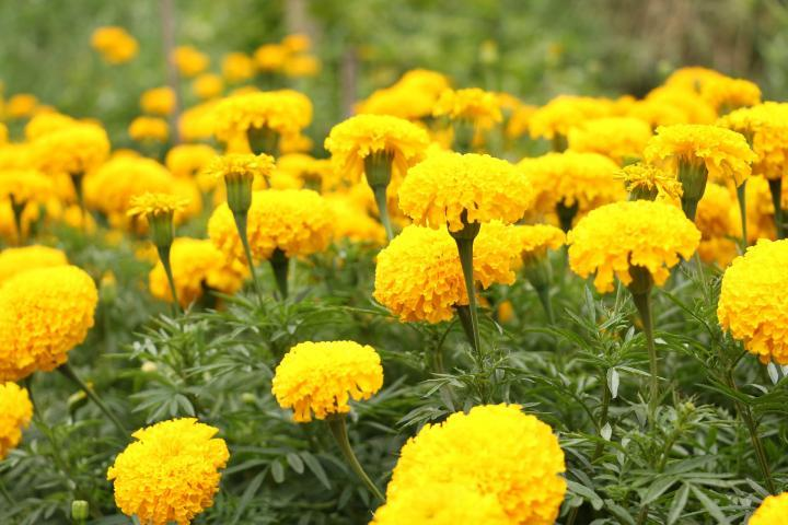 Macintosh HD:Users:sarinavetterli:Desktop:Plant and Granola Sale:Plant Images:Marigolds.jpg
