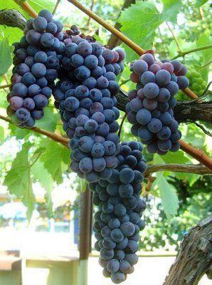 Картинки по запросу виноград черный жемчуг