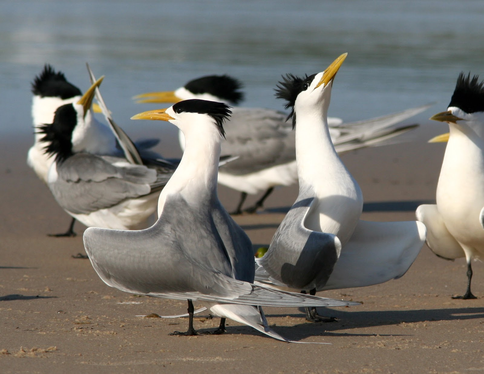 Crested_Tern_courtship.jpg