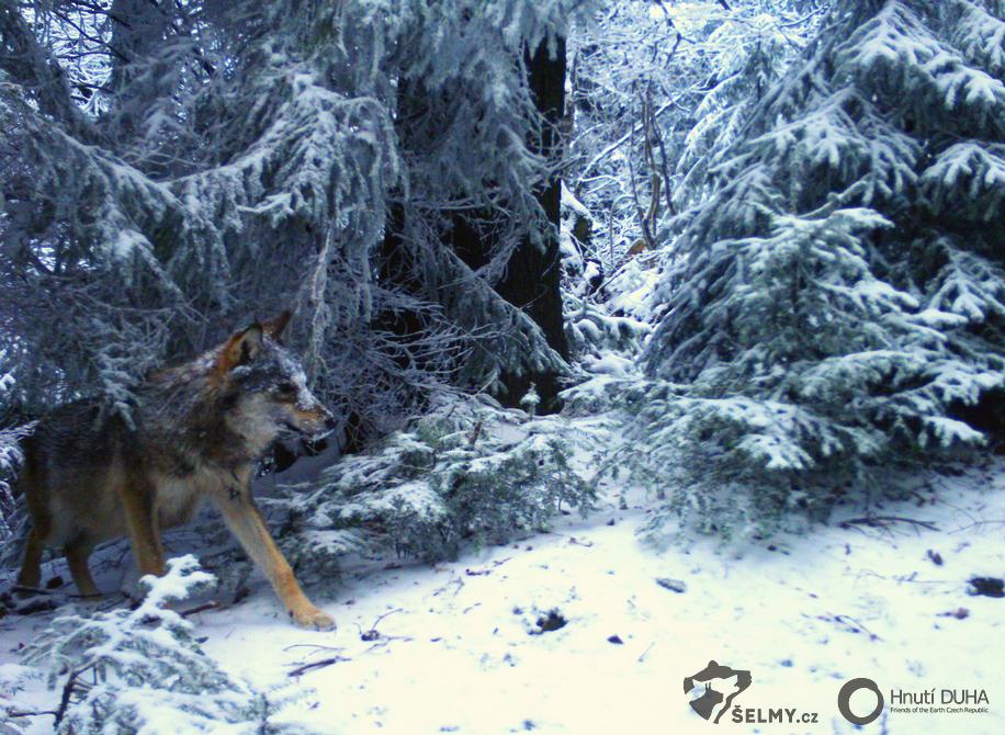 Vlk z Javorníků; zdroj: Hnutí DUHA Olomouc