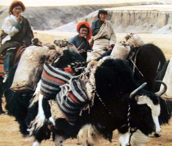 Yaks are used for transportation of goods.