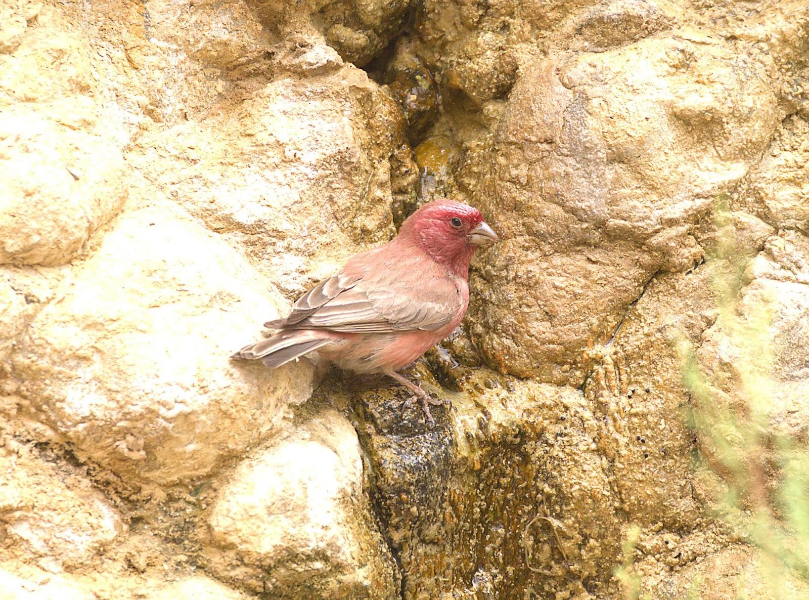 Sinai rosefinch_rsz.jpg