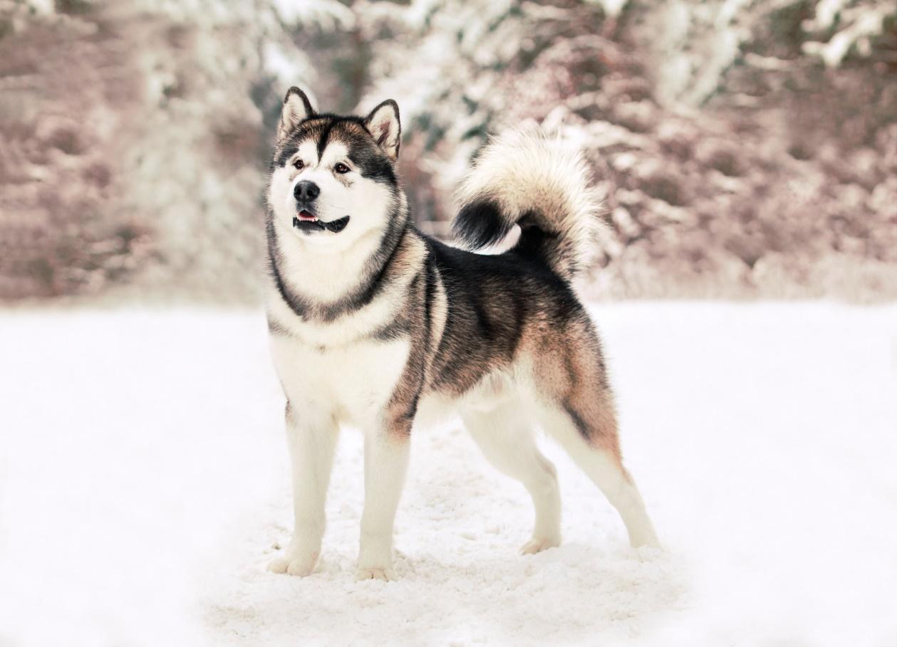 Аляскинский маламут - Дрессировка собак