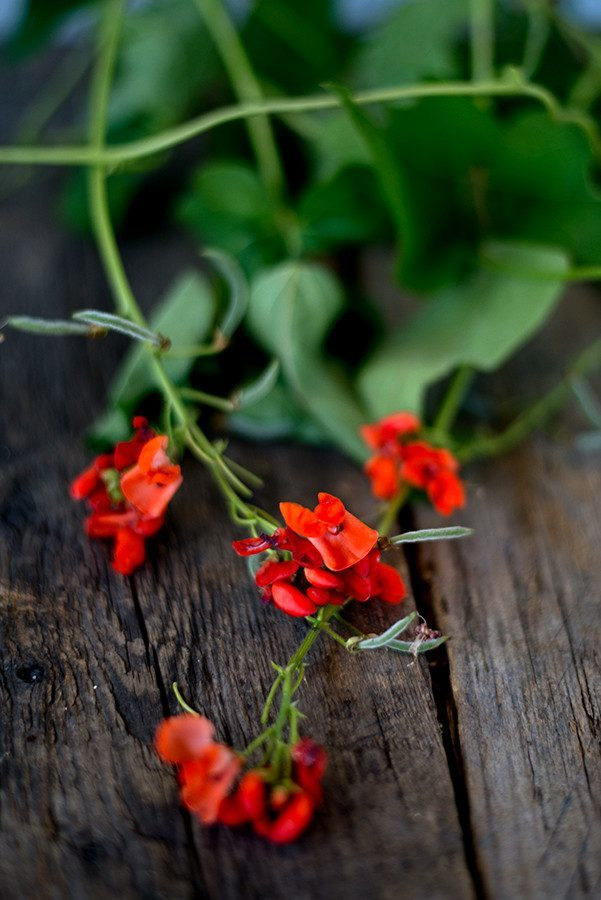 Scarlet Runner Bean - Pinetree Garden Seeds - Vegetables,Flowers  - 1
