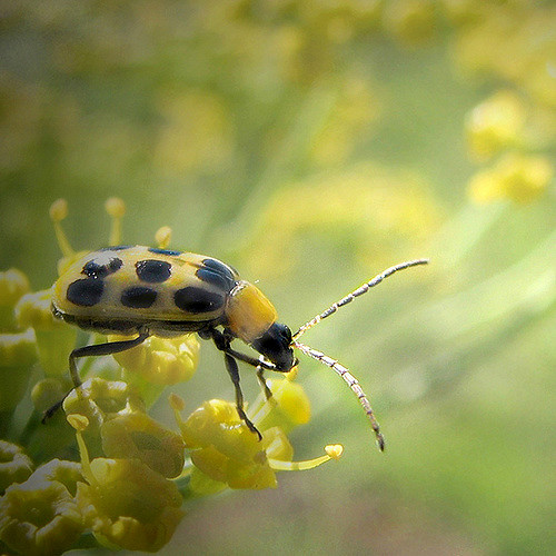 Cucumber Beetle Park Visitor